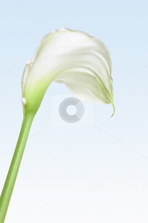 White Calla Lily stock photo, A single white calla lily on a soft pastel background by Leah-Anne Thompson