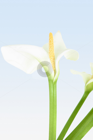 Exquisite Calla stock photo, Beautiful whtie calla lily with yellow spadex pointing straight up.  The classic Calla, together with the rose and the tulip, is one of the few flowers that evokes a strong emotional feeling. by Leah-Anne Thompson