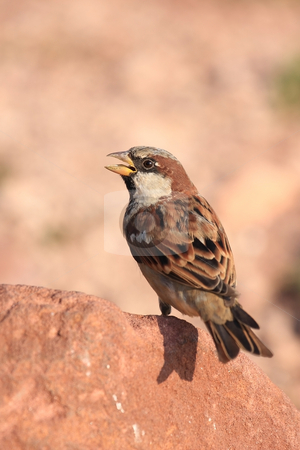 Sparrow stock photo, On a warm summer day rest is good by ARPAD RADOCZY