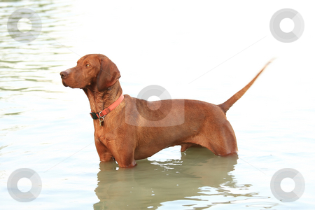 The hungarian retriever stock photo, The hungarian retriever is a very good shooter hound by ARPAD RADOCZY