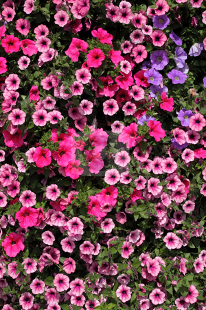 Lots of colorful petunia flowers. stock photo, Lots of colorful petunia flowers. by Stephen Rees