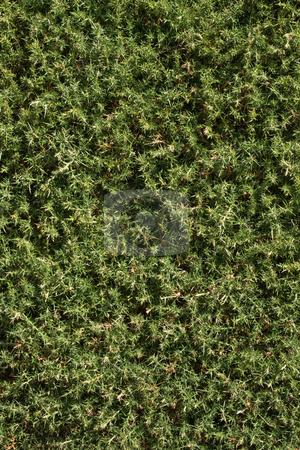Close up of a thistle bush. stock photo, Close up of a thistle bush. by Stephen Rees