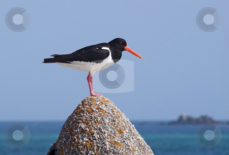 Eurasian Oystercatcher (Haematopus ostralegus) on a rock, Isles of Scilly UK. stock photo, Eurasian Oystercatcher (Haematopus ostralegus) on a rock, Isles of Scilly UK. by Stephen Rees