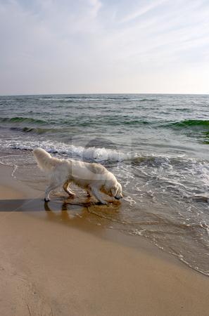 Dog Retriever on the Beach 2 stock photo,  by Stanislovas Kairys