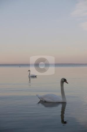 2 Swans stock photo,  by Stanislovas Kairys