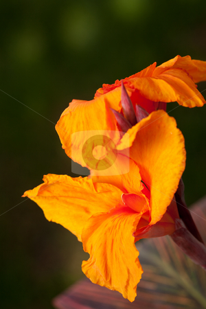 Radiant Canna Lily stock photo, Radiant Canna Lily Blossom on a Summer Day by Andy Dean