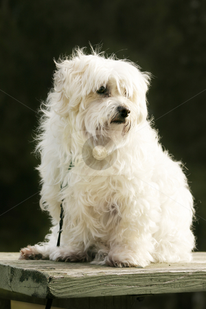 Maltese dog stock photo, White maltese dog sitting in the outdoors by Leah-Anne Thompson