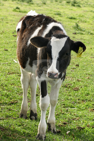 Calf stock photo, Young dairyy milking calf standing in a meadow. by Leah-Anne Thompson