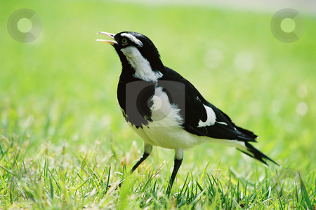 Magpie Lark stock photo, Magpie-lark in grass (film)This is a magpie-lark (no relation to the magpie or the lark) A bird of Australia that builds an unusual mud nest which is lined with grass and feathers. This one is a male, identified by its white eyebrow (females have an all white face). by Leah-Anne Thompson