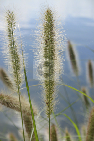 Pennisetum alopecuroides - Canada Bay  stock photo, Pennisetum alopecuroides - ornamental grass - Canada Bay by Leah-Anne Thompson