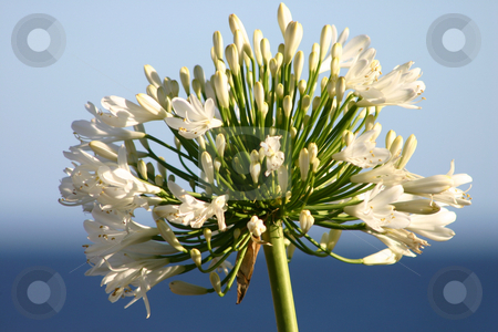 Ocean agapanthus stock photo, Specimen showing both buds and flowers by Leah-Anne Thompson
