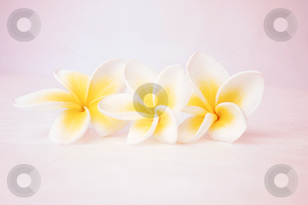 3 frangipanis stock photo, Three frangipanis (f4) by Leah-Anne Thompson