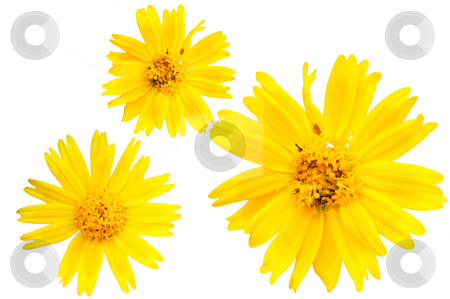 Yellow marguerite stock photo, The closeup view of isolated yellow floret over white by Tito Wong