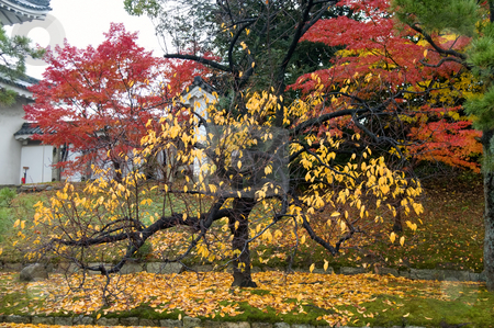 Maple stock photo, The red and yellow maple trees in garden by Tito Wong