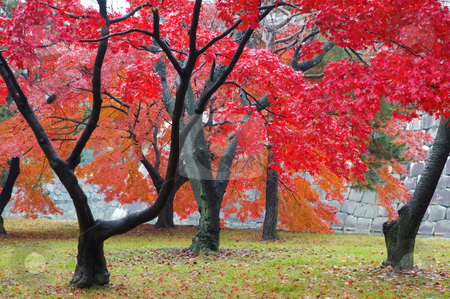 Maple stock photo, The red maple trees in japanese garden by Tito Wong