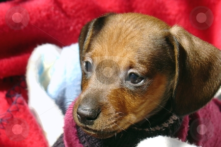 Little dog stock photo,  by Giancarlo Liguori