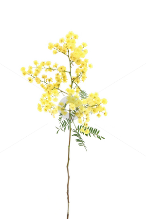 Wattle  stock photo, Specimen sprig of ornamental wattle, which has bright yellow globular inflorences and small  green bipinnate fernlike leaflets.  There are over 1000 species of wattle.  Wattle is Australia's national flower. by Leah-Anne Thompson