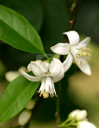 Orange Blossoms stock photo, Orange blossom is the waxy, white blossom of the orange tree. Orange blossom are very fragrant. The Orange blossoms bloom in clusters of 1-6 during in spring and result in oranges the following autumn or winter. Last year's oranges often are still on the trees when the new Orange blossom are blooming. by Leah-Anne Thompson