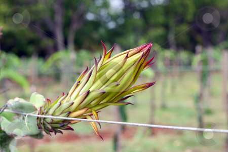 Pitaya plants. stock photo, A pitaya  or pitahaya is the fruit of several cactus species, most importantly of the genus Hylocereus (sweet pitayas).  Other vernacular names are strawberry pear or nanettikafruit. In Mauritius, it is known as