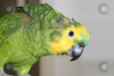 Amazon parrot stock photo,  by Giancarlo Liguori