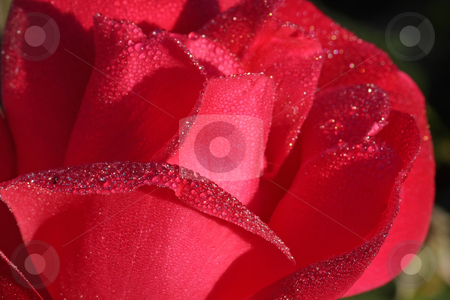 Rose stock photo, A beautiful rose in the morning dew by ARPAD RADOCZY