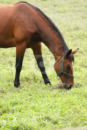 Horse stock photo, A beautiful brown horse grazes on the field by ARPAD RADOCZY