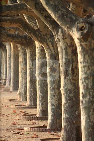 Sycamore trees stock photo, A nice series sycamore trees by ARPAD RADOCZY