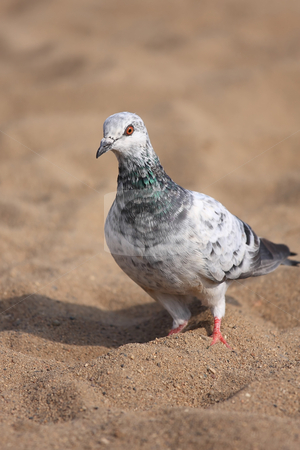 Urban pigeon stock photo, A beautiful urban pigeon in the sand looking for food by ARPAD RADOCZY