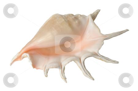 Seashell stock photo, Great horned sea shell on white background by Vladimir Blinov
