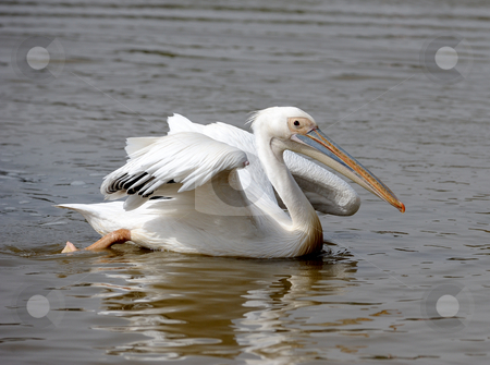 Pelican.  stock photo, Pelican with outstretched wings floating on the lake in the zoo. by Vladimir Blinov
