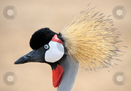 Crowned Crane  stock photo, The head is crowned crane, close-up by Vladimir Blinov