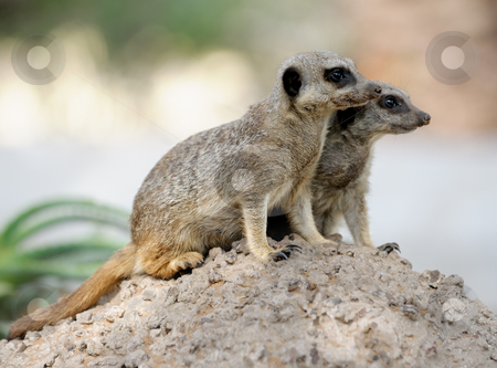 Suricata stock photo, Suricata, small carnivorous mammals, a pair of observers around the hole in the zoo. by Vladimir Blinov