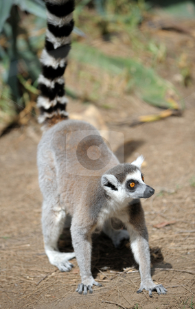 Lemurs  stock photo, Lemurs and their baby in the zoo. by Vladimir Blinov