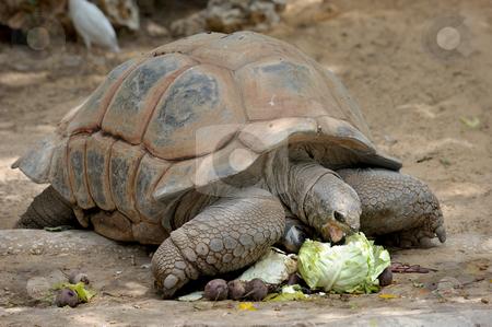 Turtle  stock photo, Gigantskoya turtle at the zoo for a meal by Vladimir Blinov