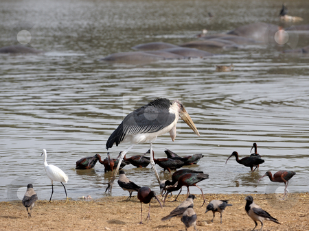 Marabou  stock photo, Marabou stork among the birds on the lake by Vladimir Blinov