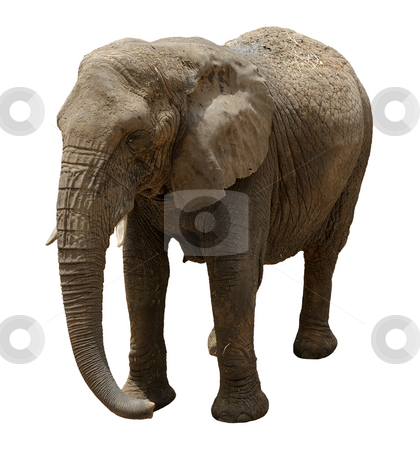 Elephant , isolated stock photo, The largest land animal in the zoo by Vladimir Blinov