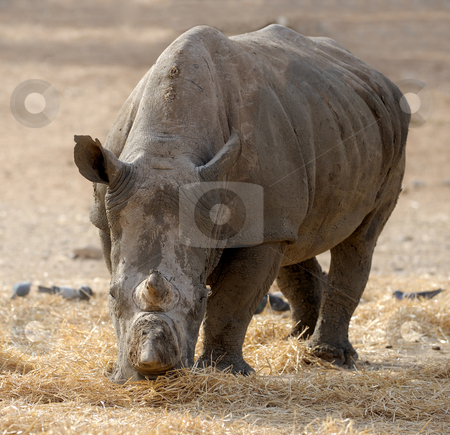 Rhinoceros  stock photo, Thick-skinned and big, white rhinoceros in a zoo. by Vladimir Blinov