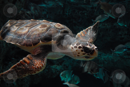 Mortimer stock photo, A sea turtle wandering about an aquarium tank. by ALEX CHOW