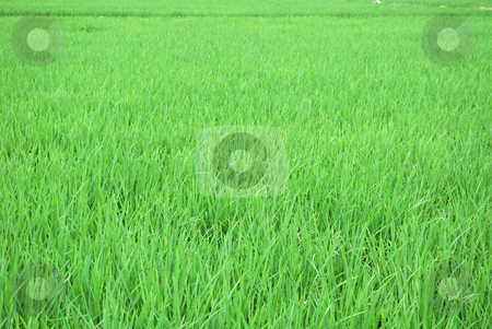 Green rice field stock photo, Green rice field in Ecuador the South America by Nataliya Taratunina