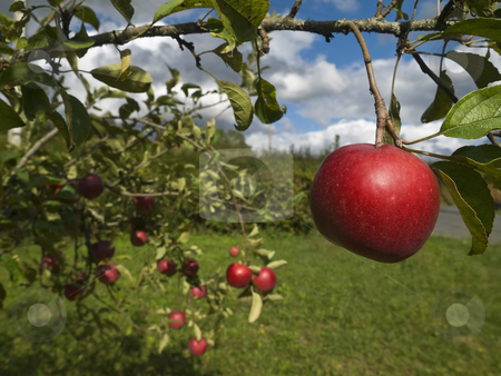 Apple tree stock photo, Several red apples hanging on the tree. Focus on the foreground. by Ignacio Gonzalez Prado