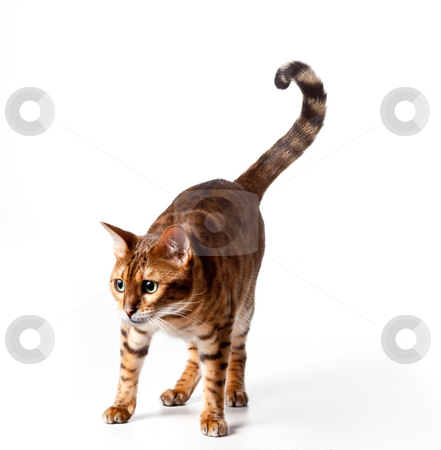 Bengal Tiger Cat staring at invible object stock photo, Isolated Bengal Tiger Kitten staring - good for any food or pet product by Steven Heap