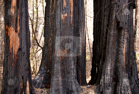 Scorched trees after forest fire stock photo, Blackened trunks show the signs of raging forest fire by Steven Heap