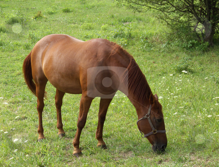 Grazing Horse stock photo,  by Kathy Piper