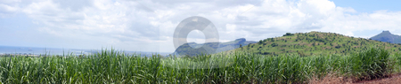 Panoramic view of sugarcane field  stock photo, Tropical panoramic view of sugarcane plants with beautiful cloudy background by Gowtum Bachoo