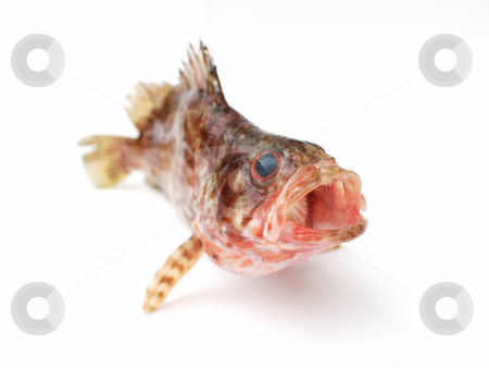 Fresh fish stock photo, Fresh red fish on white background by Nataliya Taratunina