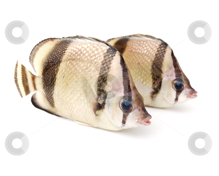 Two tropical fish stock photo, Two tropical fish on white background by Nataliya Taratunina