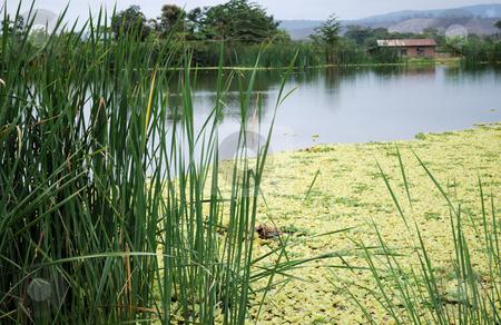 Picturesque lake stock photo, Yellow duckweed on picturesque lake by Nataliya Taratunina