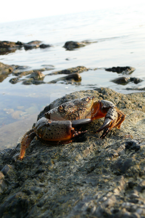 Sea crab stock photo, The Black Sea stony crab by Vadim Tsyba