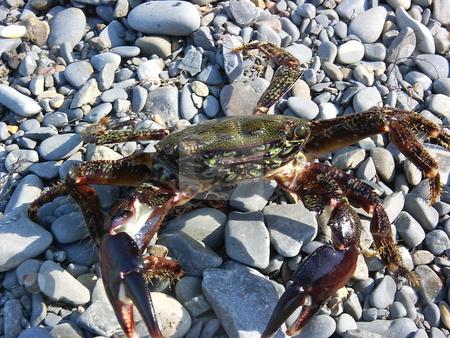 Sea crab stock photo, The sea crab is stolen in the sea by Vadim Tsyba
