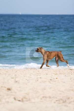 Dog at the Beach stock photo, A cute purebred boxer dog running on the beach with plenty of copy space. by Todd Arena
